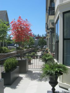 Townhouse patio decor with potted cedar shrubs, custom japanese maple tree and ferns in clients urns